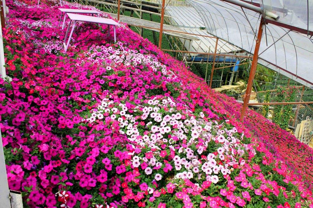 摄理灵修会之金马仑美丽花卉